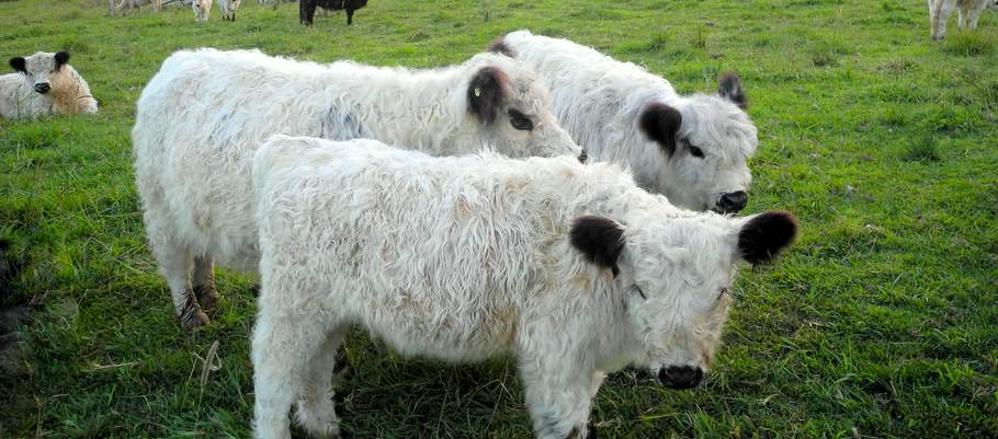 1 miniature cattle lll