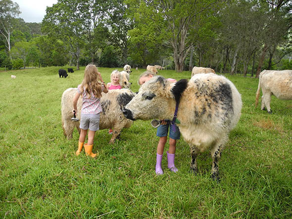 miniature_cattle_and_kids