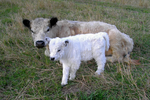 miniature cow and calf