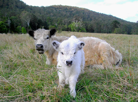 miniature cow and calf ll
